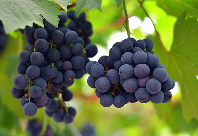 Grapes Benefits That More Than You Think